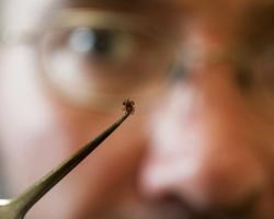 Tick held in a tweezer
