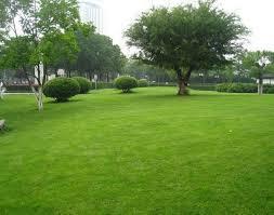 Turfgrass lawn