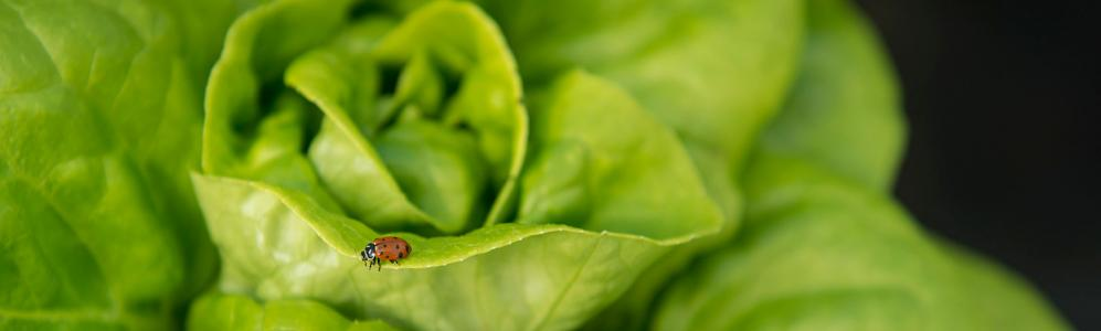 lady beetle on lettuce