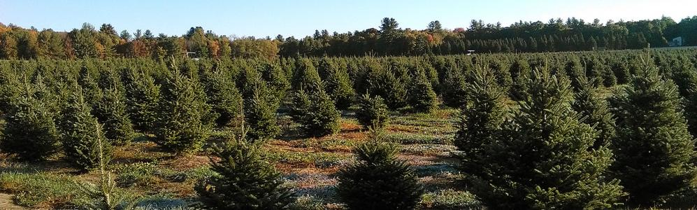 Chestnut Mountain Tree Farm, Hatfield, MA.