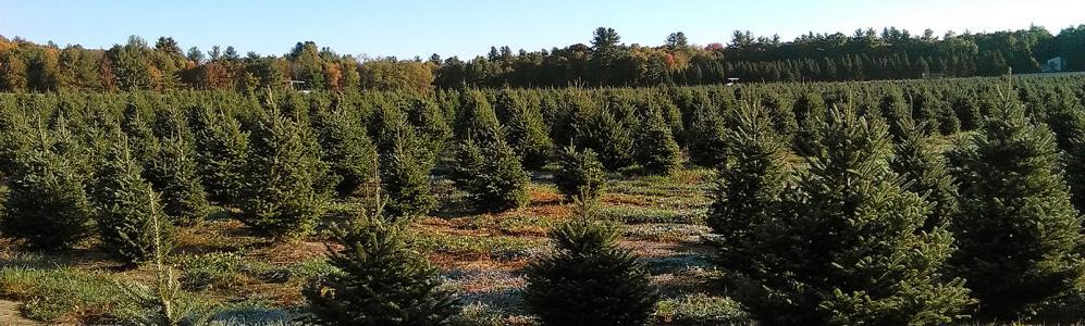 christmas trees faq