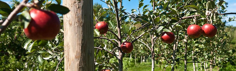 Apples at Cold Spring Orchard