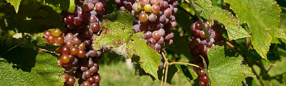 Grapes at Cold Spring Orchard