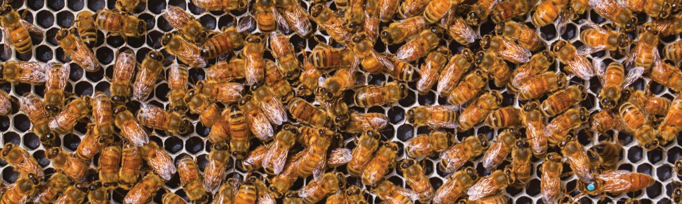 Honeybees on frame