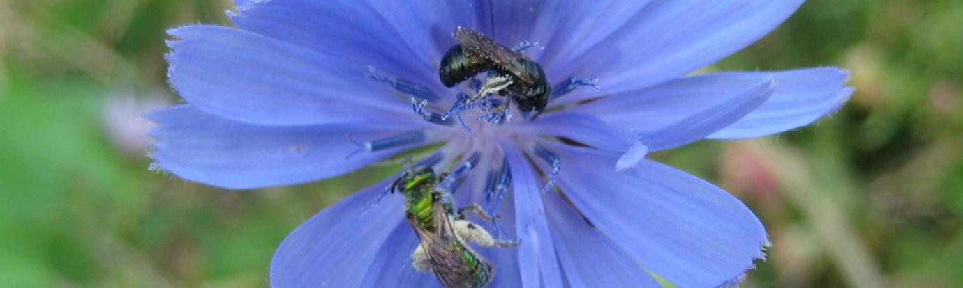 Solitary Bees on Chicory