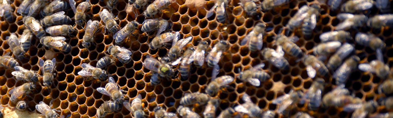 a honey bee frame
