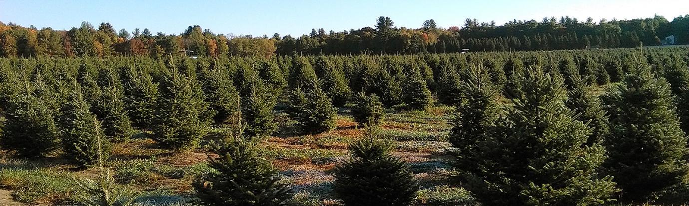 Chestnut Mountain Tree Farm, Hatfield, MA.