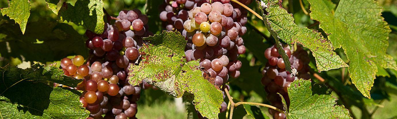 Grapes at Cold Spring Orchard