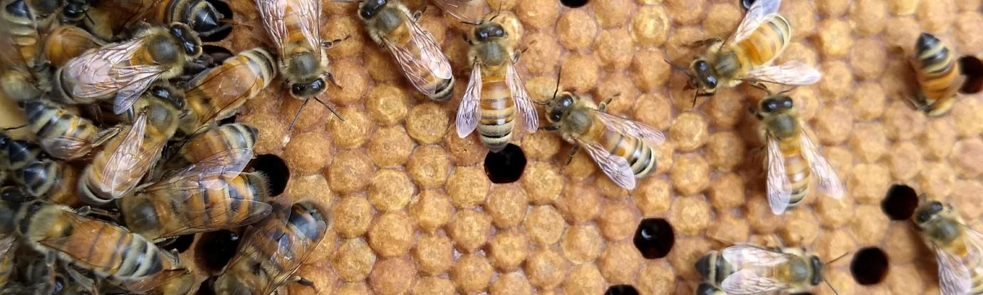 honey bees on comb