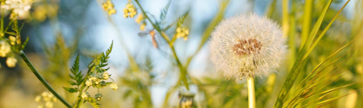 dandelion by marisa van velzen on unsplash