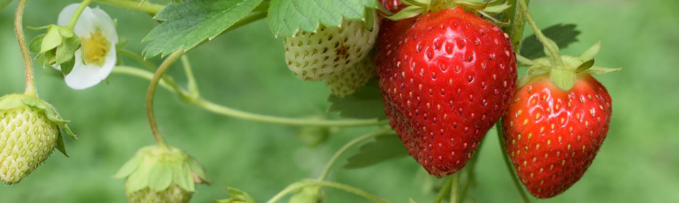 Strawberries by Oliver hale on unsplash