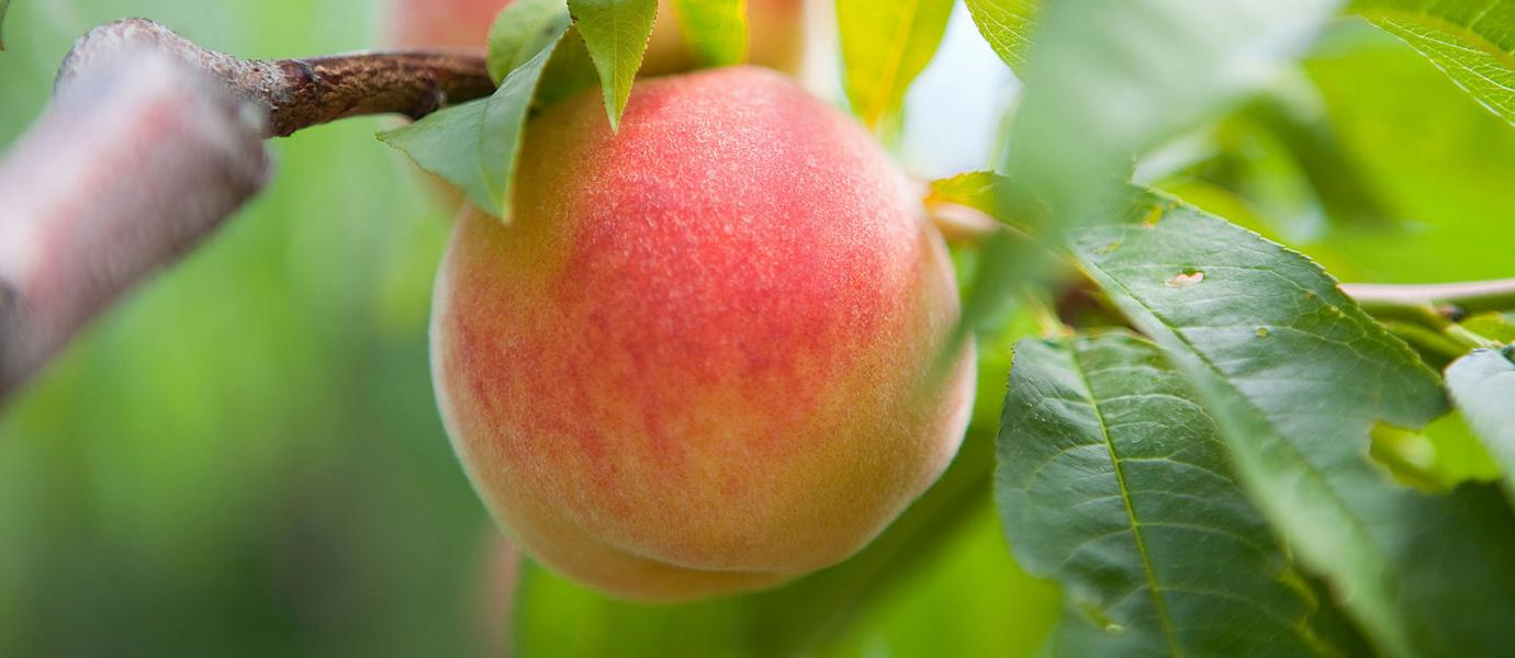 Peaches at Cold Spring Orchard