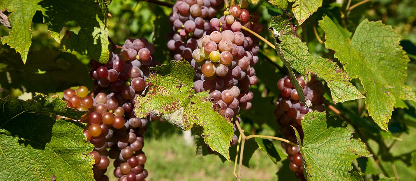 UMass Extension Fruit Program