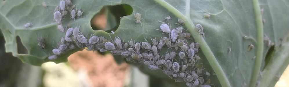 Cabbage aphids on a Brussels sprouts leaf. Photo: UMass Vegetable Program