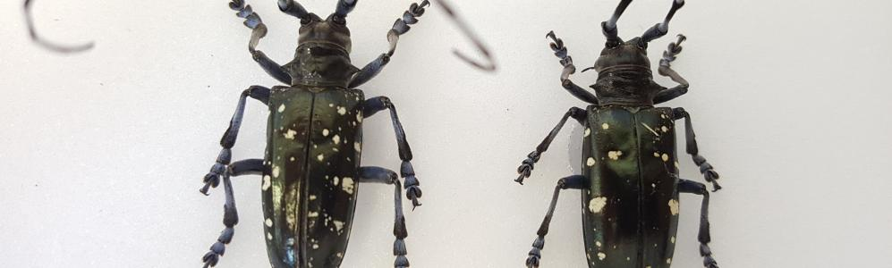 Asian Longhorned Beetle specimens