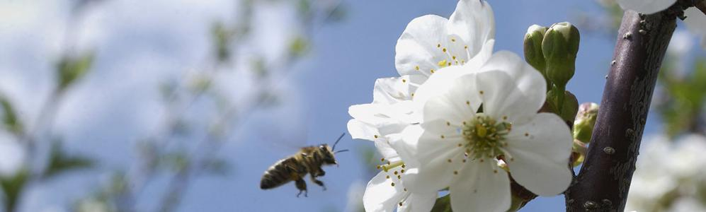 apple blossoms and bee