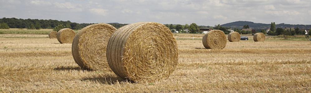Bales of hay at UMass farm