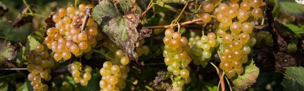 Cold Spring Orchard grapes