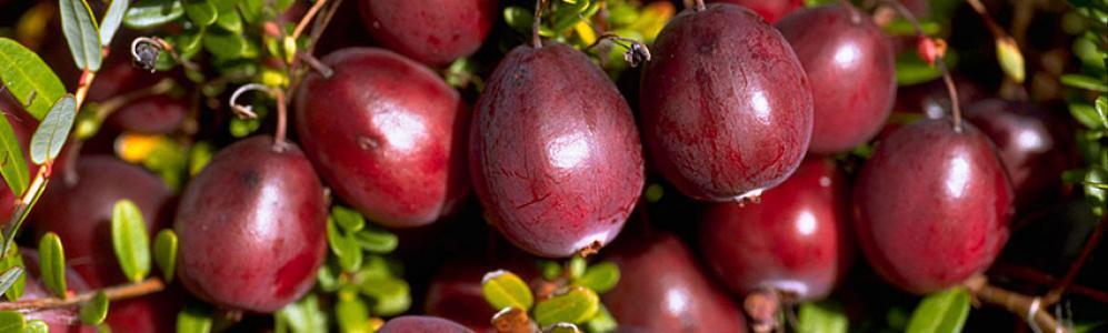 UMass Extension Cranberry Program