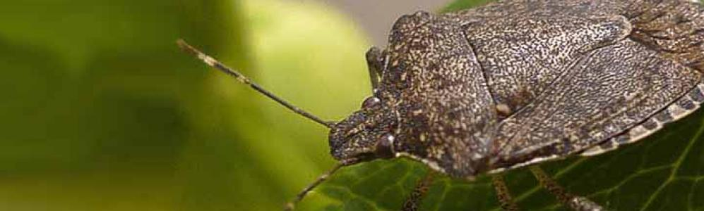 Brown Marmorated Stink Bug (courtesy of mariemont.com)
