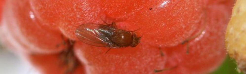 Spotted Wing Drosophila on raspberry (courtesy of Entomology Today)