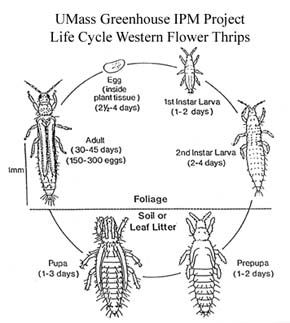 Greenhouse & Floriculture: Western Flower Thrips, Management and